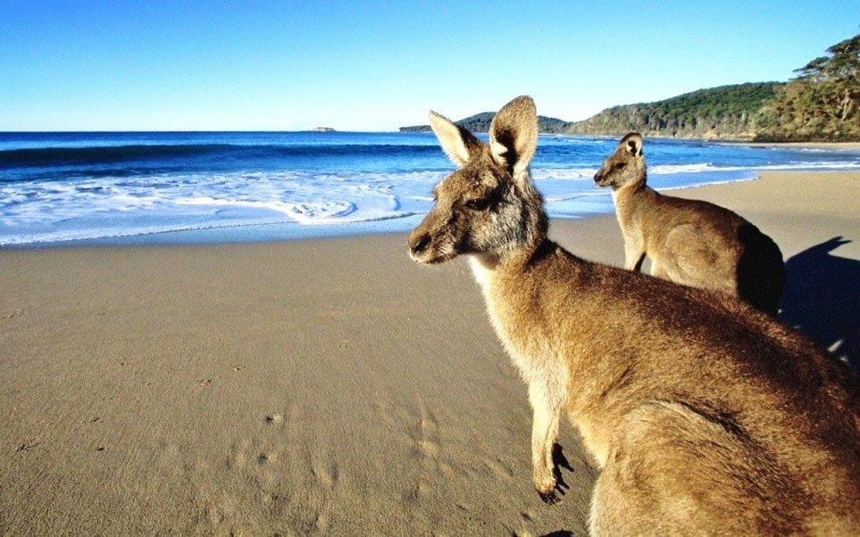 Inbtercâmbio de trabalho - Canguru da Austrália - Foto de http://revistaviag.com.br/