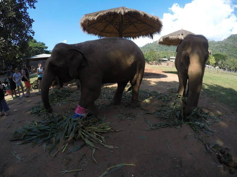 Elefanta com a patinha machucada =(