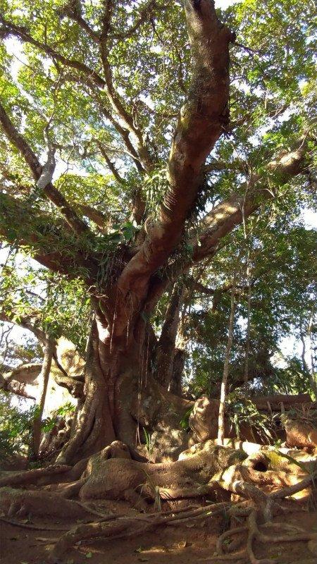 Árvore Gameleira nos fundos da Pousada