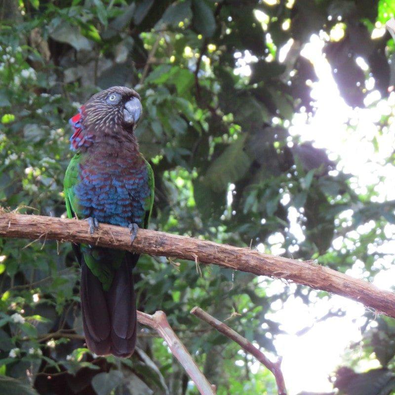 Papagaio anacã ou papagaio de coleira ( Deroptyus accipitrinus ) | Dicas e informações para visitar o Parque das Aves em Foz do Iguaçu