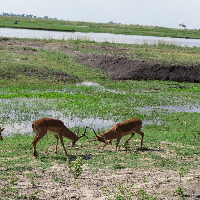 Impalas macho brigando - Safari no Chobe National Park