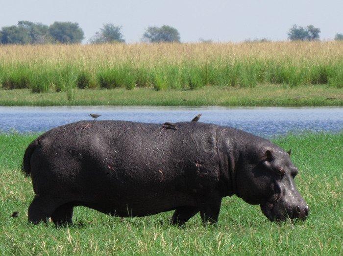 Hipopótamo no Chobe National Park.