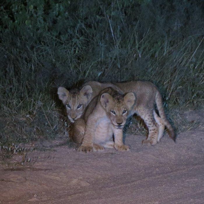 Night drive, Kruger National Park.